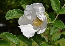 white rose rugosa rose flower blossom bloom nature