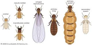 how to get rid of termites by yourself