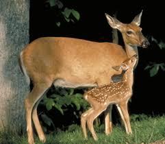 White Tailed Deer Outdoor Alabama
