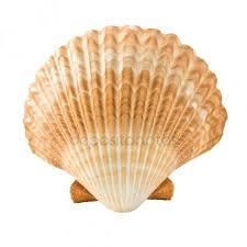 Afbeeldingsresultaat voor concha