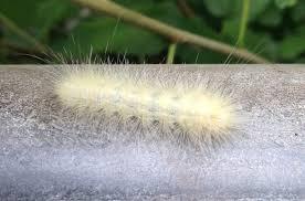 Light Yellow Fuzzy Caterpillar Yellow Bear Backyard And Beyond