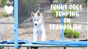 at kika s klee kai you can see our adorable alaskan klee kai dogs and puppies jumping on the troline we e sharing our beautiful mini husky