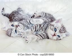 two young british shorthair silver tabby cats lying playing together