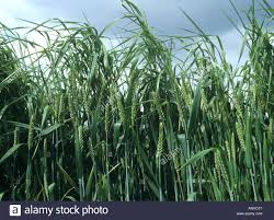 Grass Couch Onion Couch Or False Oats Arrhenatherum Elatius Bold Arable Grass