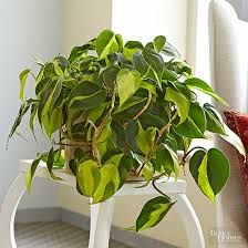 Philodendron, Heartleaf