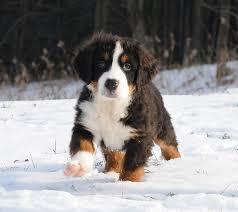 bernese mountain dog puppies.  Dog 4 Males U0026 2 Females  Shop SwissRidge Puppy  In Bernese Mountain Dog Puppies N