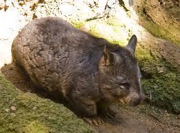 Southern hairy nosed wombat habitat