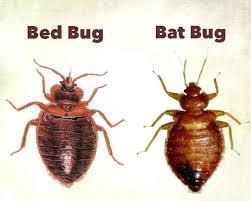Bed Bug Type Bed Bug Killer By Defense All Natural Organic Formula