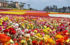 awesome flower garden carlsbad the flower fields at carlsbad ranch visit carlsbad