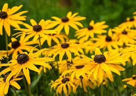 black eyed susan rudbeckia dream team s portland garden pixabay
