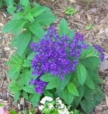 Image result for heliotrope
