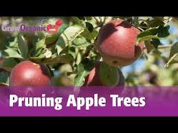 How To Prune An Old Neglected Out Of Control Fruit Tree In Early Pruning Fruit Trees Video