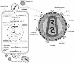 ВИЧ инфекция Википедия Репликация вируса иммунодефицита человека в клетке