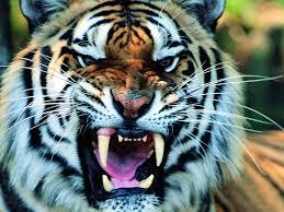 tiger face wallpaper hd. Plain Wallpaper TigerFaceLongSharpTeethHDAnimalWallpaper Intended Tiger Face Wallpaper Hd
