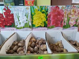 Cebulki cebule Kwiatowe wiosenne MIECZYKI - 7264540177 - oficjalne archiwum  Allegro
