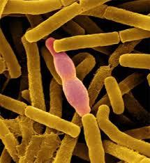 Микроорганизмы Бактерии Микробиология Фото Статьи с  Споры возбудителя сибирской язвы чрезвычайно устойчивы к физическим и химическим воздействиям и сохраняют жизнеспособность в течение