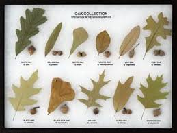 Oak Tree Comparison Chart Oak Collection Leaf And Seed Display Oak Leaf Display