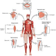 The final function of muscle tissue is the generation of body heat. Interactions Of Skeletal Muscles Anatomy And Physiology I