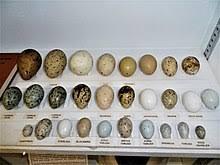 Bird Egg Wikipedia