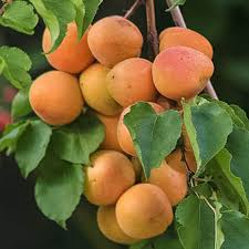 Royal Blenheim Apricot Tree Semi Dwarf Groworganic Com