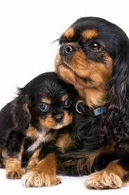 cavalier king charles spaniel black and tan puppy. Brilliant Cavalier Dogs And Puppies  A Few Steps Towards Finding Success With Your Dog   More Info Could Be Found At The Image Url DogsandPuppies For Cavalier King Charles Spaniel Black And Tan Puppy A