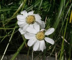 Achillea barrelieri - Wikipedia