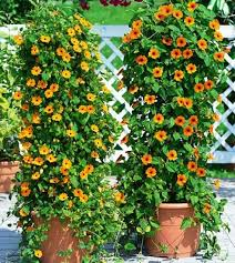 Spanish Style Garden With Low Concrete Fence And Clay Pots Also Wall Climbing Plants In Pots
