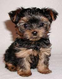tiny teacup yorkies miniature yorkshire terrier