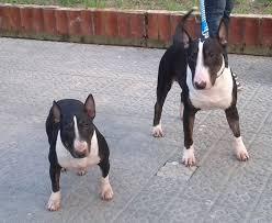 miniature bull terrier vs standard.  Bull Miniature Bull Terrier On Vs Standard T
