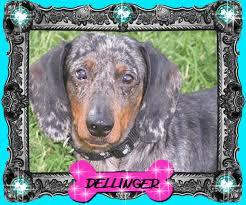 akcckc miniature dachshund puppies for