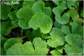 gotu kola hair loss. Unique Kola 5 Amazing Benefits Uses Of Gotu Kola  Centella Asiatica Vallarai For  Skin Hair U0026 Health Throughout Loss B