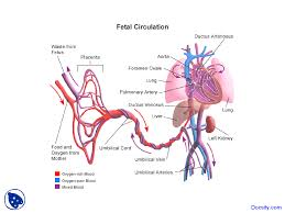 Flow Chart Of Fetal Circulation Cardiology Lecture
