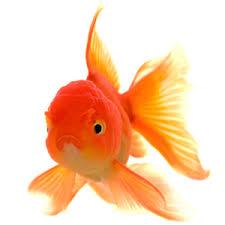 petco goldfish. Unique Goldfish Goldfish And Petco S