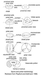 Angiosperm Vs Gymnosperm Venn Diagram Spores And Pollen