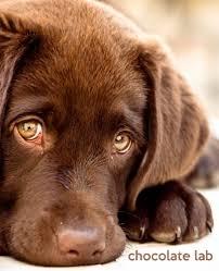chocolate labrador retriever. Chocolate Lab Gift Journal For People Who Love Dogs Labrador Retriever Edition Inside