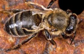 Breeders Toughen Up Bees To Resist Deadly Mites Science Aaas