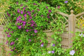 fast growing climbers that can quickly