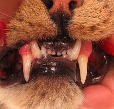 Kitten Teeth Chart Identifying Problems Early In A Puppy Or Kitten Mouth