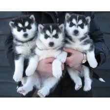husky puppies for sale. Brilliant For Stunning Siberian Husky Puppies Now Ready To For Sale T