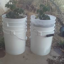 tomatoes in self watering buckets