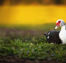 muscovy duck raising ducks