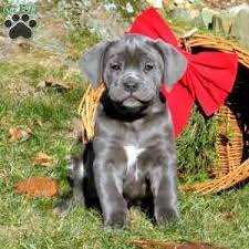 a cane corso puppy named london