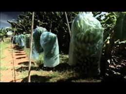 Resultado de imagem para foto da delmont produtora de banana
