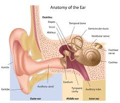 the 25 best human ear diagram ideas on pinterest human ear, ear Diagram Of Human Ear For Class 8 the anatomy of the hearing system can be divided into four components outer ear, middle ear, inner ear, and central auditory pathways diagram of human ear for class 8