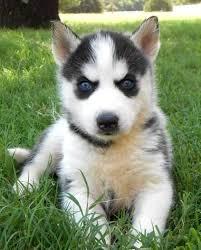 black german shepherd puppies with blue eyes. Exellent Shepherd White German Shepherd Puppies With Blue Eyes Libya Siberian Husky  And Throughout Black T
