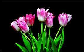 hd flower wallpaper best of tulip flowers hd wallpapers free