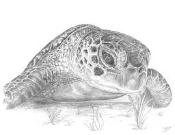 Small Picture A Green Sea Turtle Grayscale Digital Art by Stacey May