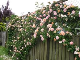 Use Wooden Trellis Fencing To Screen Areas And Provide Privacy Climbing Plants For Fence