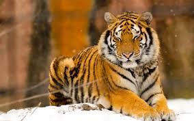 tiger wallpaper desktop.  Desktop 1920x1200 White Tiger HD  To Wallpaper Desktop R
