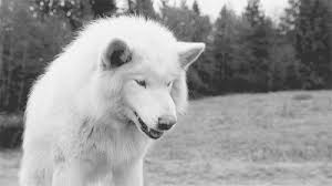 white wolf growling gif. Delighful Gif Read Fight Back  Chapter 7 To Be Continued Wattpad In White Wolf Growling Gif
